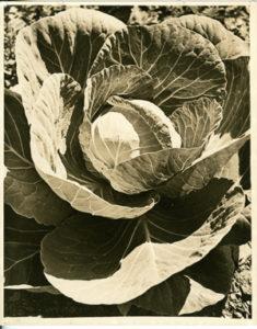 03 Cabbage mini